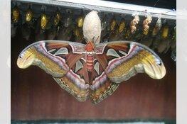 Atlasvlinder geboren in Vlindorado Waarland